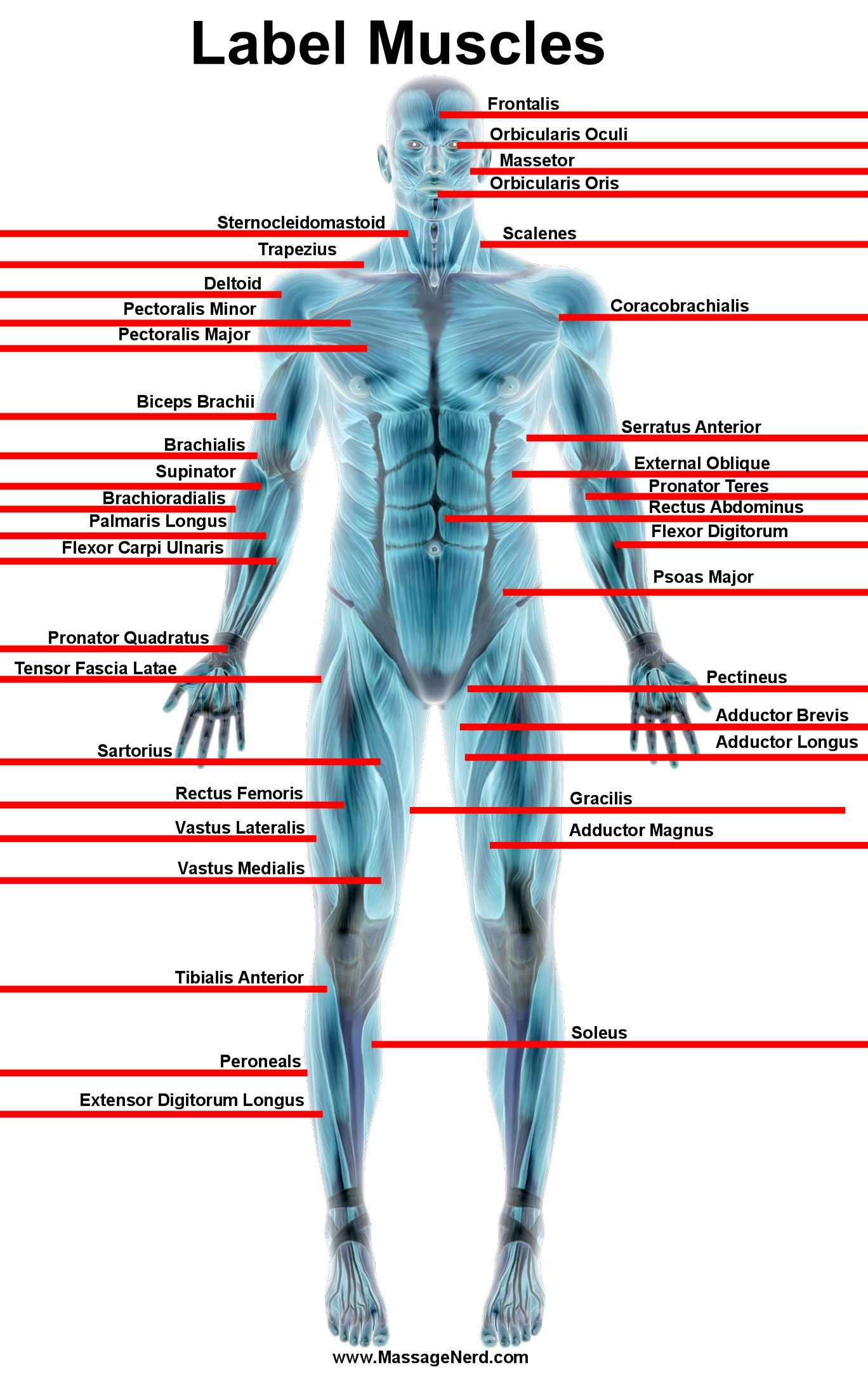Massage Anatomy Chart 3226892 Follow4morefo