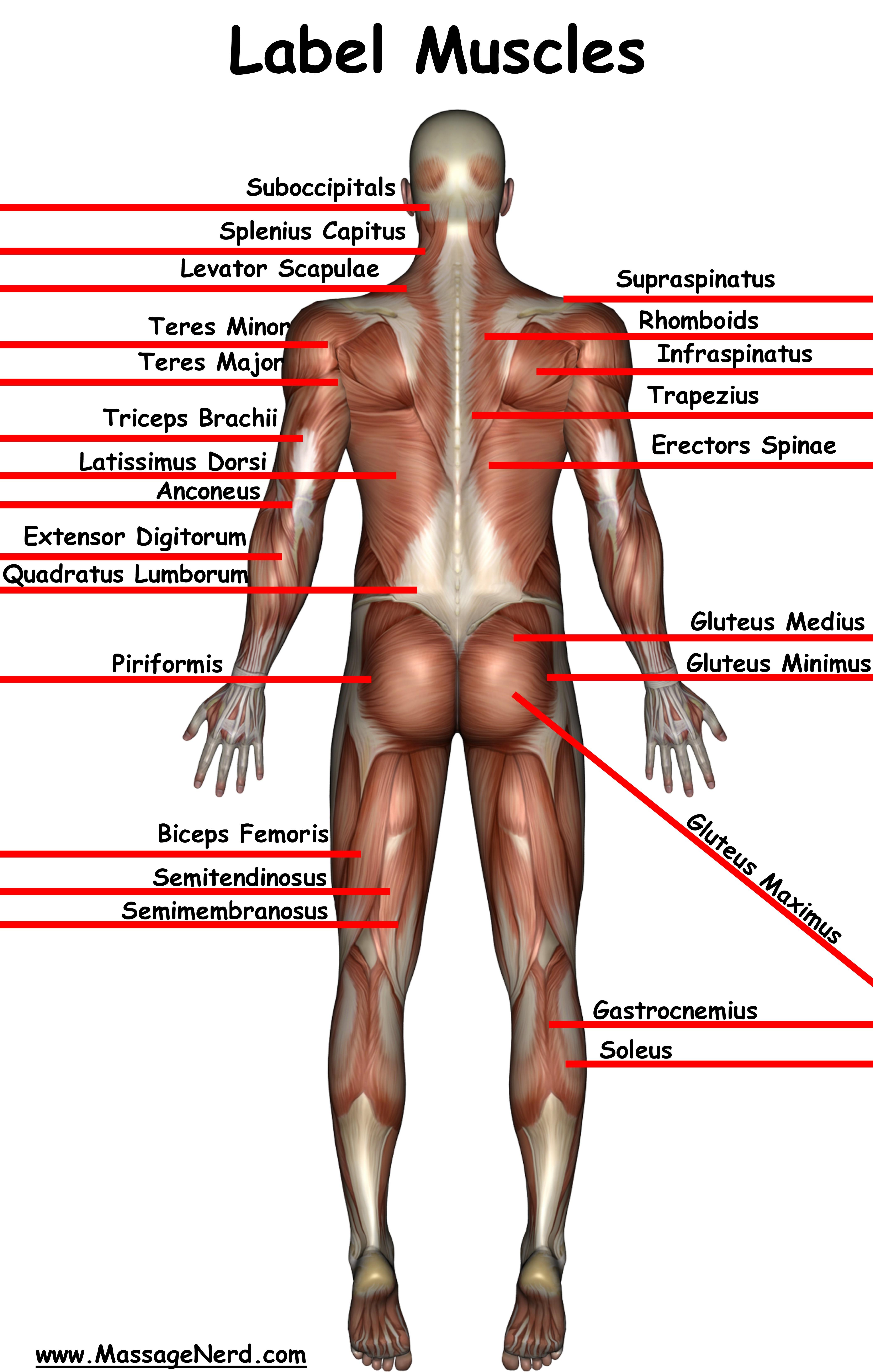 Groß Bilder Menschliche Muskeln Zeitgenössisch - Menschliche ...