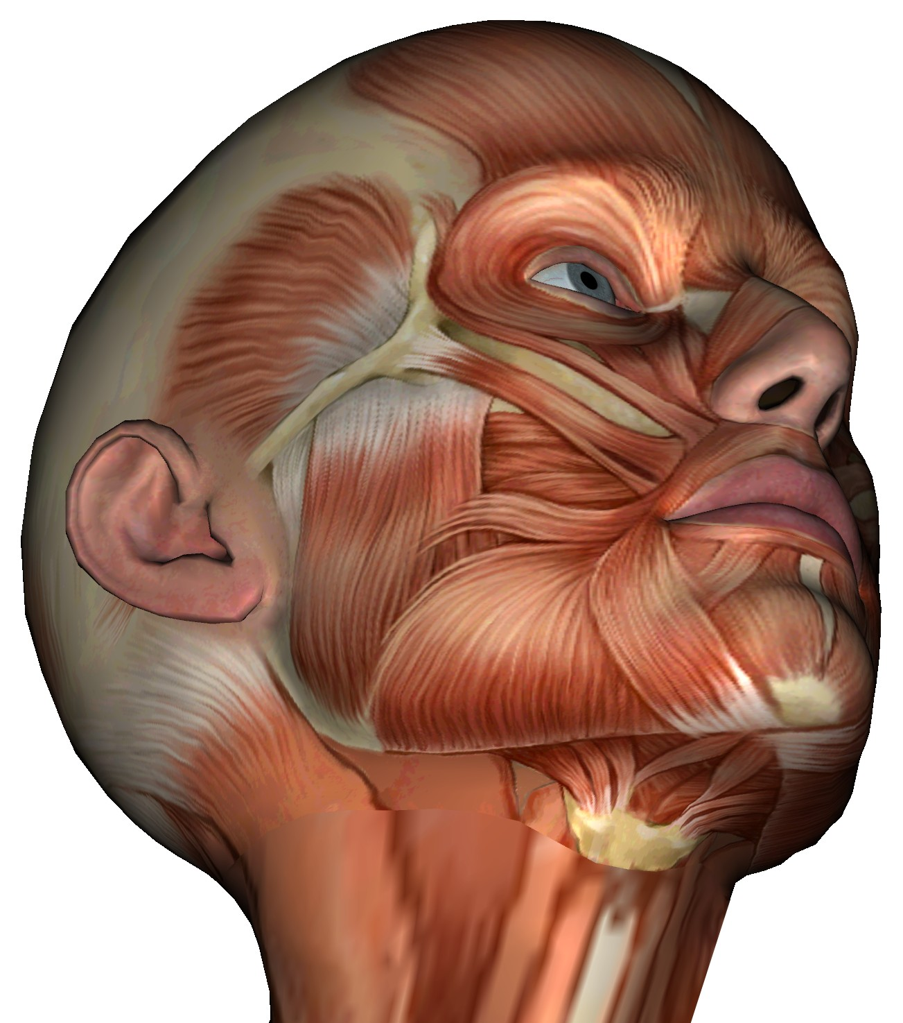 Top of head anatomy