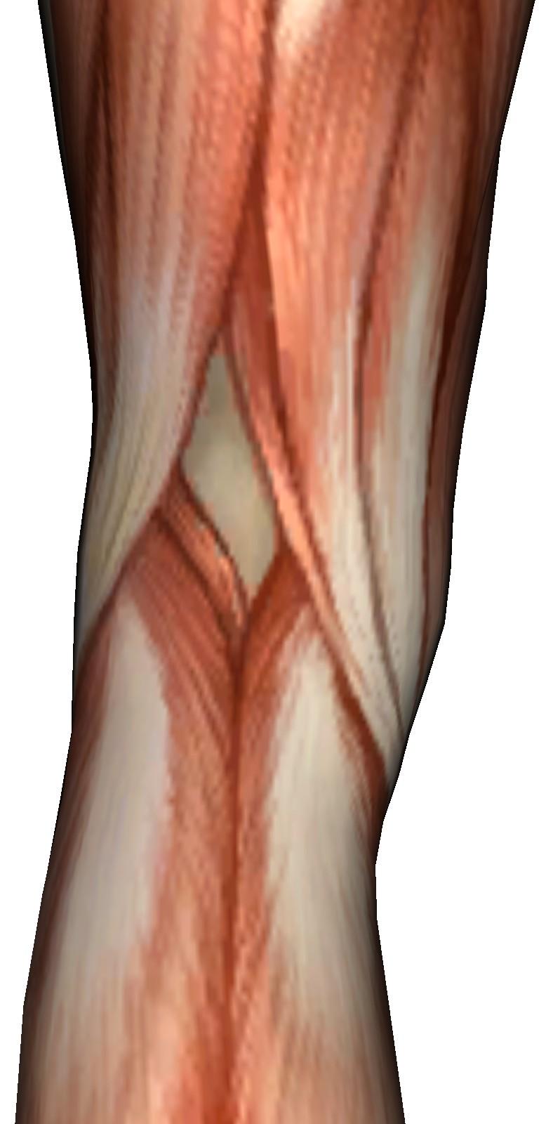 Body Parts Muscles - Massage, Massage Videos, Massage Pictures ...