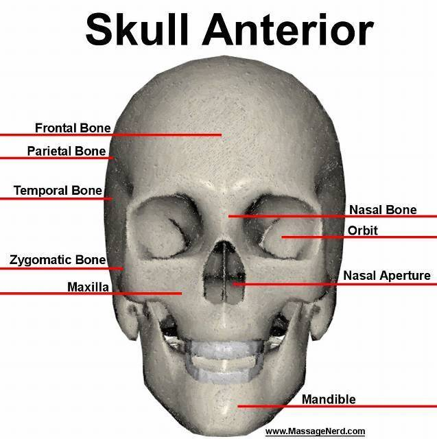 Ortb Skull Logo moreover Pictogram Gas Cylinder as well Rip Bad Boy Records together with Brainlobes in addition Digestive System Of Frog With Labeled Diagram. on skull label